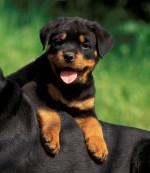 colitis_in_rottweilers_1 (3)