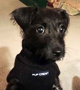 tiny black dog