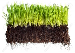 7447677-Green-grass-showing-roots-Stock-Photo-grass-soil-turf