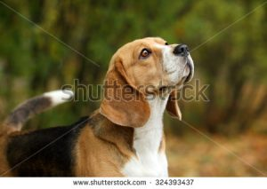 stock-photo-beagle-dogs-portrait-324393437