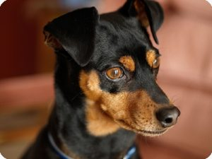 how-to-train-a-miniature-pinscher
