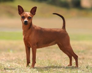 miniature-pinscher-01